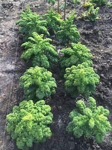 Salat Pflanzen Abstand : vermehrung von gr nkohl und petersilie teil1 auswahl und pflanzung der saatguttr ger ~ Markanthonyermac.com Haus und Dekorationen