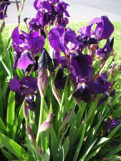 iris barbatus iris des jardins ou iris barbus vivaces