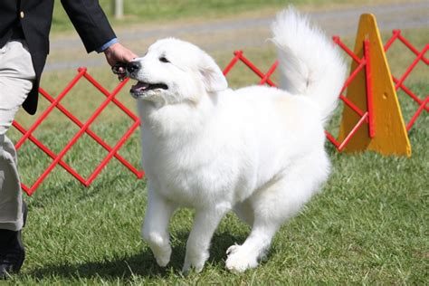 great pyrenees breed information great pyrenees images
