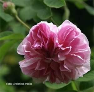 Alte Rosensorten Stark Duftend : rosensorten duftrosen ble blessings bleu blickfang ~ Michelbontemps.com Haus und Dekorationen