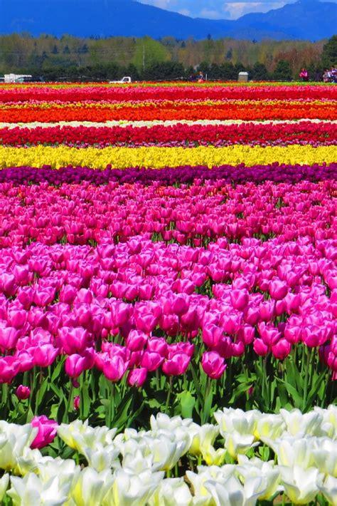 tulip festival fields washington tulips skagit valley seattle flower spring field flowers state wa galore holland netherlands read bloom guide