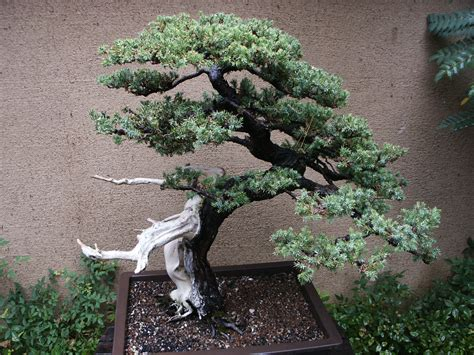 japanese garden bonsai huntington library japanese bonsai garden 144 flickr