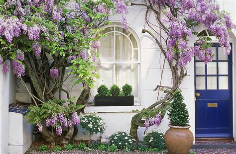 glycine pot 28 images standard wisteria sinensis tree 1 tree buy order yours now wisteria
