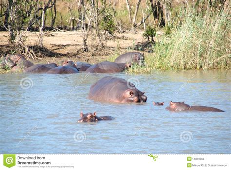 siege hippopotamus of hippos south pacfic