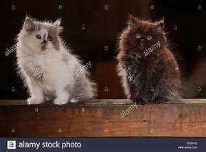 Blau Und Schwarz Kombinieren : british longhair katze k tzchen schwarz und blau wei 8 wochen britisch langhaar kaetzchen ~ Buech-reservation.com Haus und Dekorationen