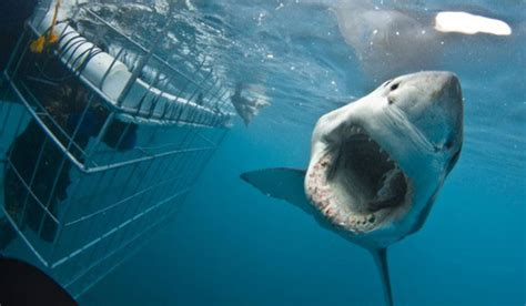 shark cage diving downhill adventures cape town adventures