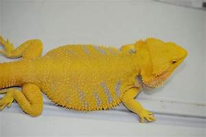 Helios - Gorgeous Citrus Bearded Dragon | beardies ...
