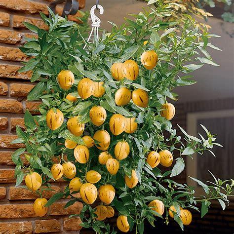 Mini Bäume Winterhart by Alles 252 Ber Mini Melonen Mein Nasch Balkon