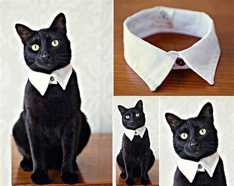 cut shirt collar to up cat cat ring bearer for a wedding perhaps he liked it he