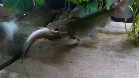 un poisson chat ogre avale un poisson