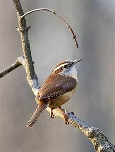 Kleine Vögel Im Garten : 33 besten zaunk nig wren bilder auf pinterest kleine ~ Lizthompson.info Haus und Dekorationen