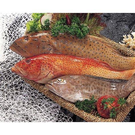 grouper fish epinephelus spp latest