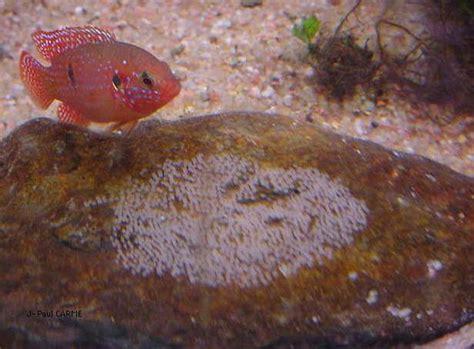 oeuf de poisson d aquarium hemichromis cichlid