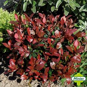 Photinia Red Robin : photinia fraseri little red robin photinia nain little ~ Michelbontemps.com Haus und Dekorationen