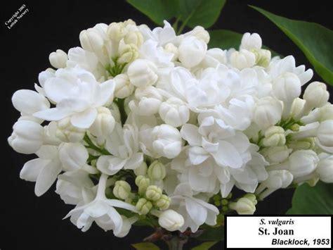 most fragrant roses australia lilac types lottah nursery australia