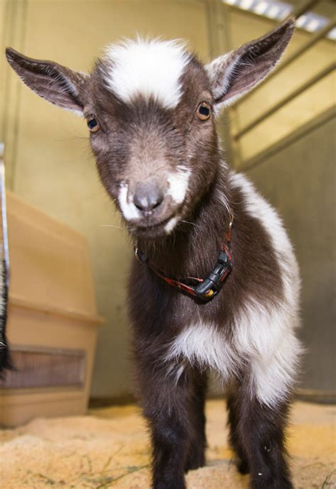 goat names vote to name our new baby goats at the disneyland resort 171 disney parks blog