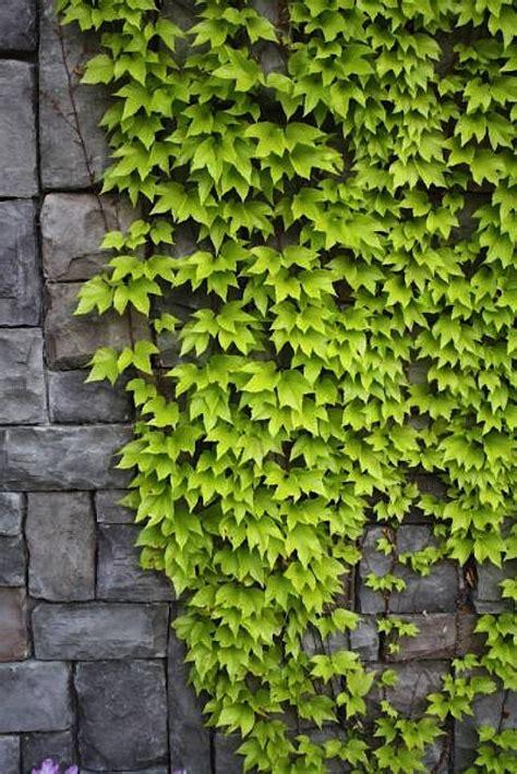 vines for privacy vines for privacy bradford greenhouses