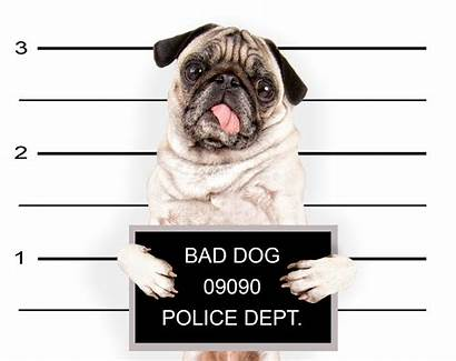 Pug Dogs Bad Funny Dog Puppy Wallpapers