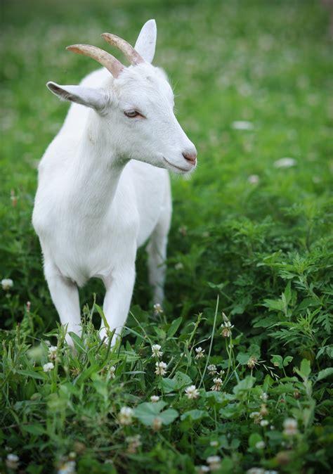 a global movement for farm animals farm sanctuary
