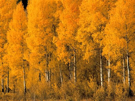 a tree in the fall aspen trees in the fall wallpaper