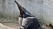 15 Majestic Facts About the Anteater | Mental Floss