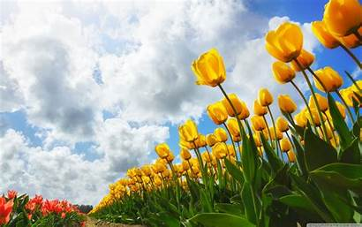 Spring Wallpapers Flowers Tulip Wiki Pages