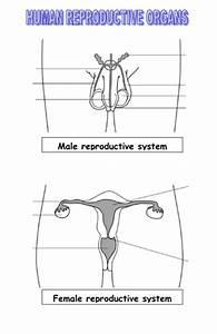Reproductive Organ Function  Worksheet By