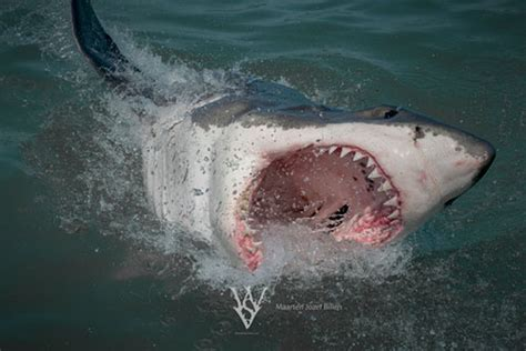 great white shark  documentaries blogs news shark shirts stories research papers