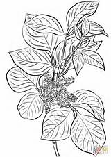 Ivy Poison Coloring Leaves Drawing Plant Flowers Rhus Toxicodendron Printable Leaf Getdrawings Common Paper Supercoloring sketch template