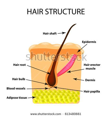 Hair Anatomy Diagram by Structure External Poster Stock