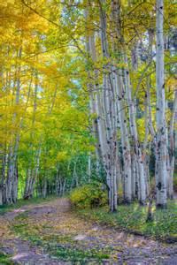 Colorado Fall Aspen Trees