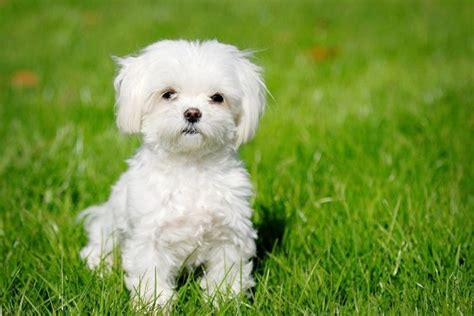 the gallery for gt white morkie puppies