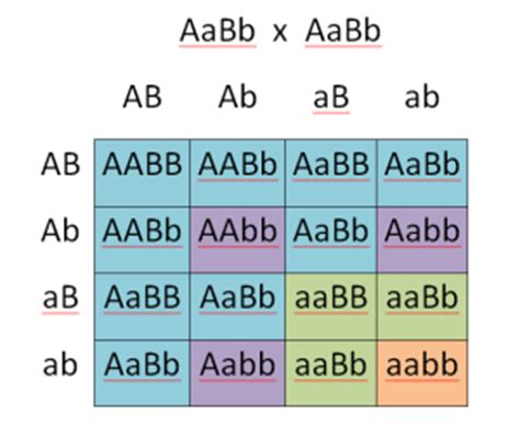 The punnett square is a square diagram that is used to predict the genotypes of a particular cross or breeding experiment. Determining Genotypes and Phenotypes using Punnett Squares   Free Homework Help
