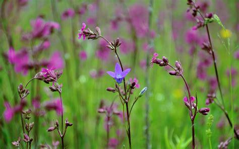 fiori selvatici viola sfondi 1680x1050 px natura piante fiori viola
