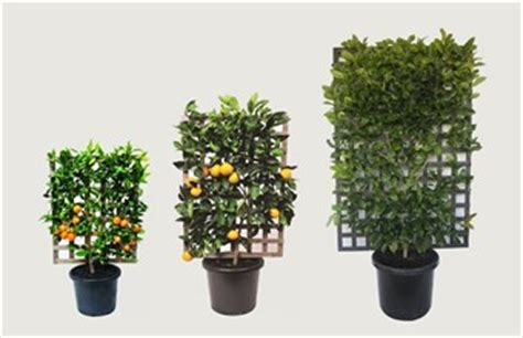 espalier fruit trees in containers citrus