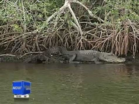 Youtube Airboat Crash by Alligator Attacks Airboat Captain In Everglades City Youtube