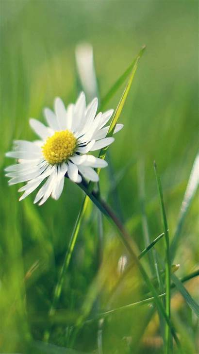 Daisy Flower Android Iphone Spring Flowers Wallpapers