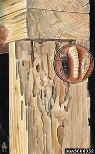 Old House Borer  Hylotrupes Bajulus  Coleoptera