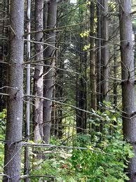 timber trees