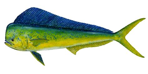 dolphin fish mahi mahi learn   catch  fish species