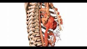Anatomy Of Chest Organs