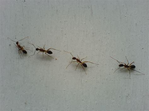 ants in kitchen kitchen ants remedy stun gun jacket natural ways to get rid of fruit flies