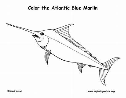 Marlin Atlantic Coloring Fish Pages Labeling Template
