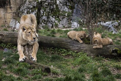 lion rare france cubs born rarest cautiously species
