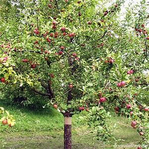 Rote Haselnuss Kaufen : stihl apfelgarten rote sternrenette ~ Michelbontemps.com Haus und Dekorationen