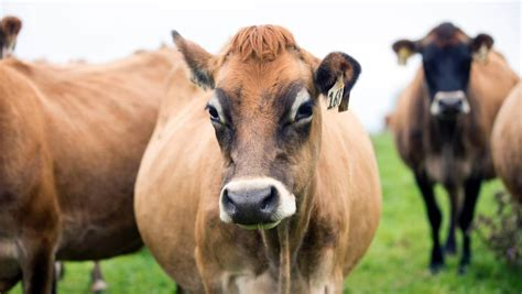 How Much Is A Cowhide Worth by What Is Dairy Cow Worth And Why Does It Matter