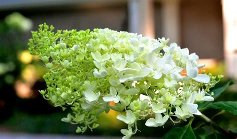 how to prune hydrangeas in the how to prune hydrangeas and when redeem your ground