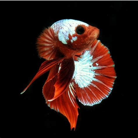 betta fish wallpaper  android ikan cupang hias koi