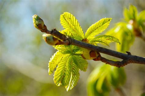tree with buds caring for trees in western new york s changing climate buffalo niagaragardening com