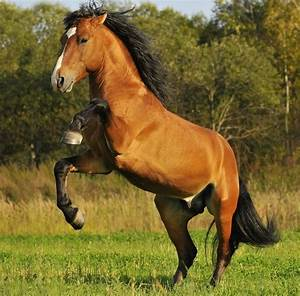 Mustang Horse Breed Information, History, Videos, Pictures